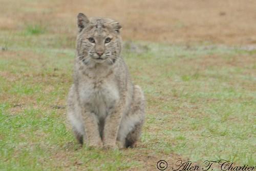 Lynx rufus (Bobcat)