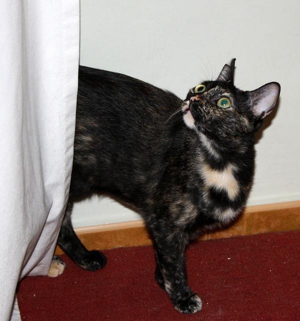 FALLECIDA- Mandala, preciosa gatita carey dulcísima de ojos verdes esterilizada, nacida en Julio´14, en adopción. Valencia. 19817275248_cb6c31b412_z