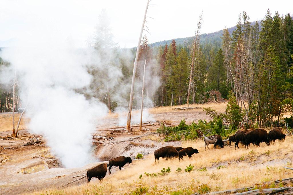 Yellowstone 16