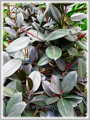 Dark foliage of Ficus elastica 'Black Prince', Jan 24 2014