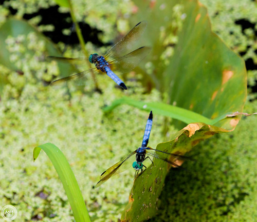 Two Dragon Flies