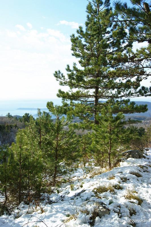 Зимний пейзаж с хвойными деревьями