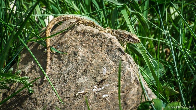 Una lagartija sobre una roca