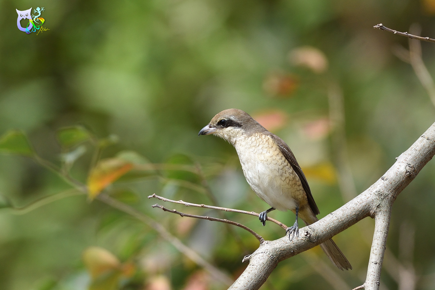 Brown_Shrike_9662