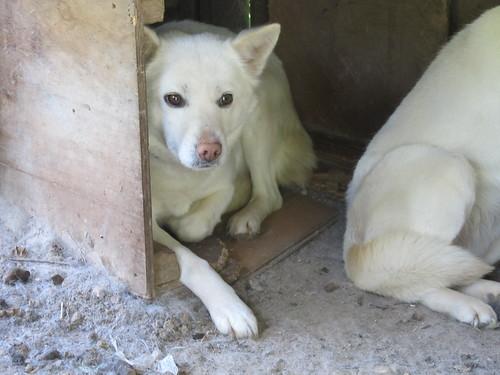 白犬 (3)