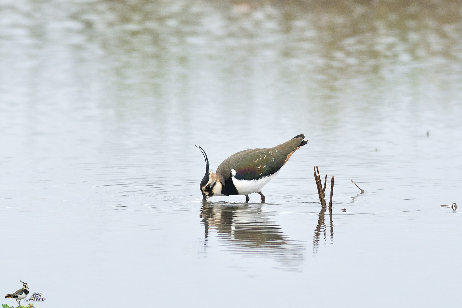 Northern_Lapwing_4703
