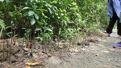Restore Ubin Mangroves (R.U.M.) Initiative monthly walk, Feb 2017