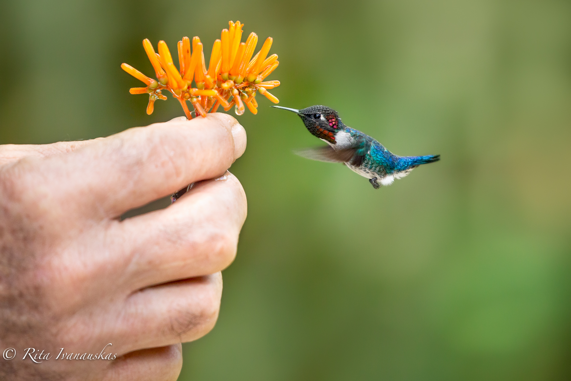 All sizes | Smallest bird in the world - Bee Hummingbird | Flickr ...