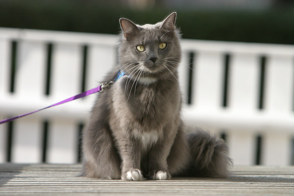cat breeds that meow a lot