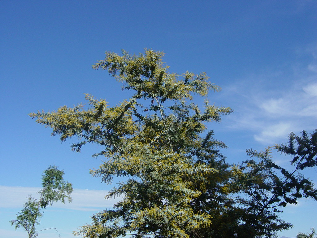 Wattle Tree With Tiny Yellow Flowers Against The Sky Flickr
