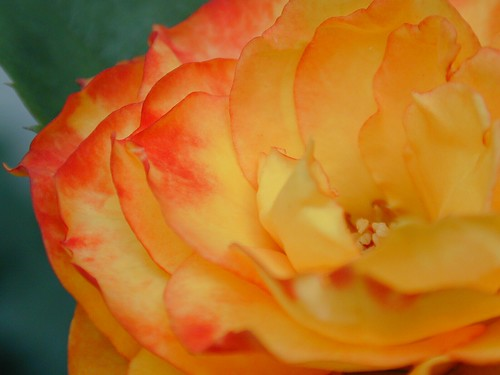 Carmelina's Rose | by paws22