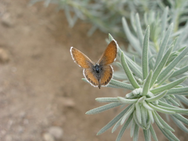 Western pygmy blue butterfly - photo#13