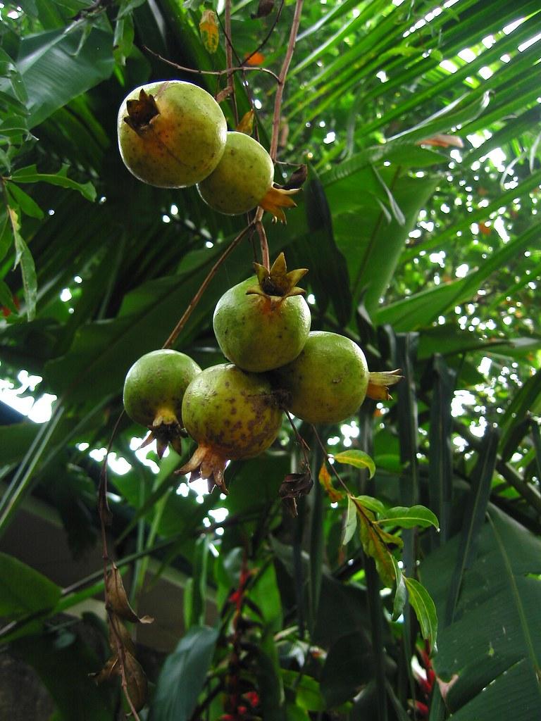 granada pomegranate in english punica granatum in botany flickr