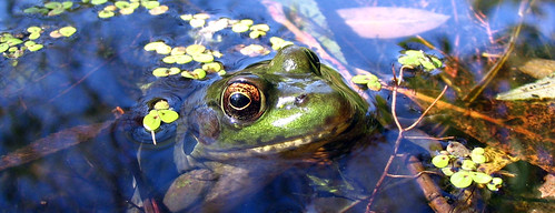 Frog in Pond | by Dan Zen