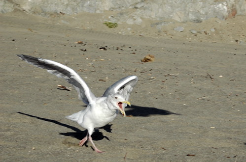 Why Can Seagulls Drink Saltwater