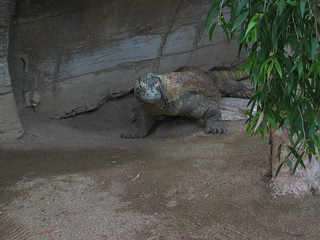 Komodo Dragon | by trento