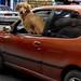 perro chofer - dog driver