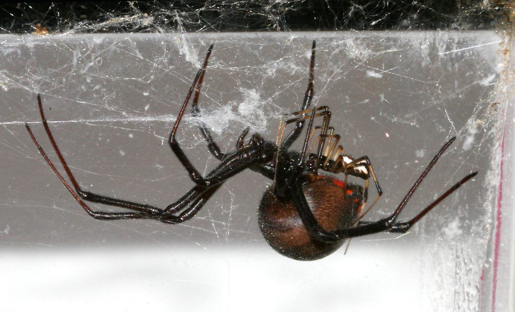 Hot Spider Sex  After A Passionate 30 Hour Romance, She -6996