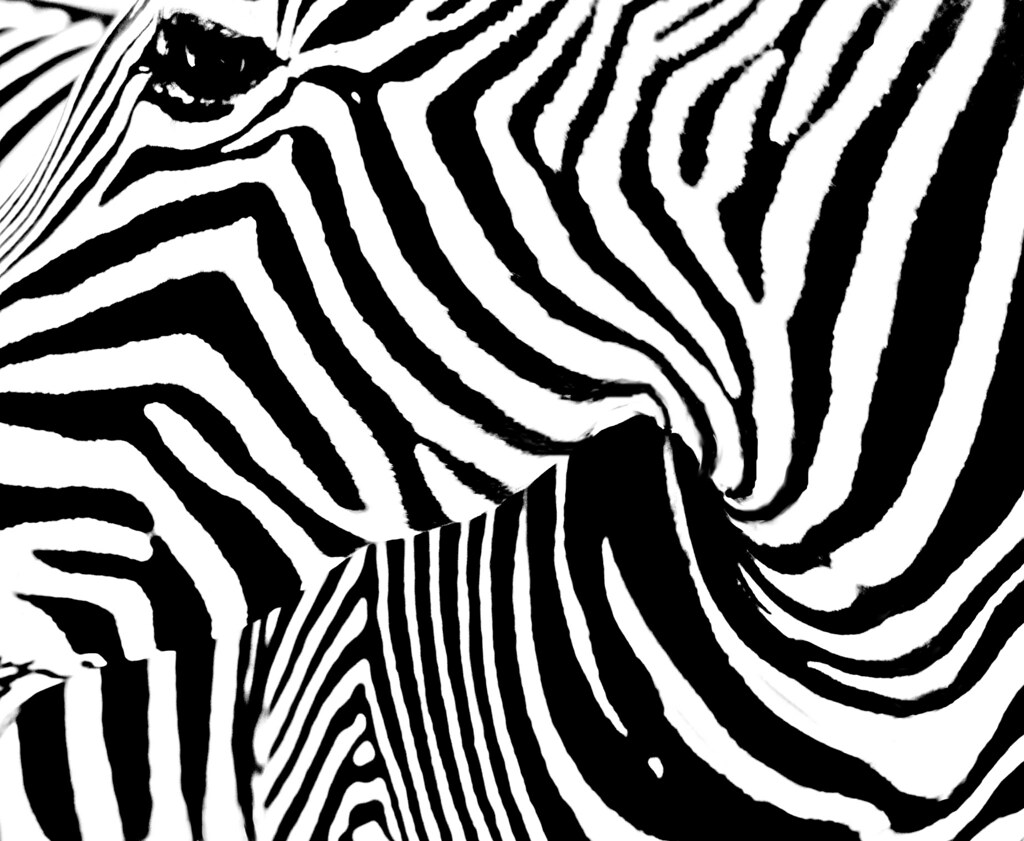 Sebra Ztripes Markings On Each Zebra Are Unique Just