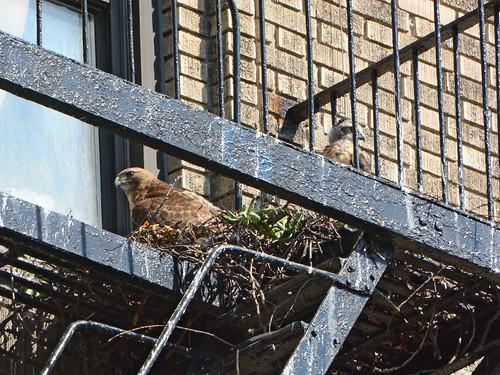 JHW Hawk Nest - 2225