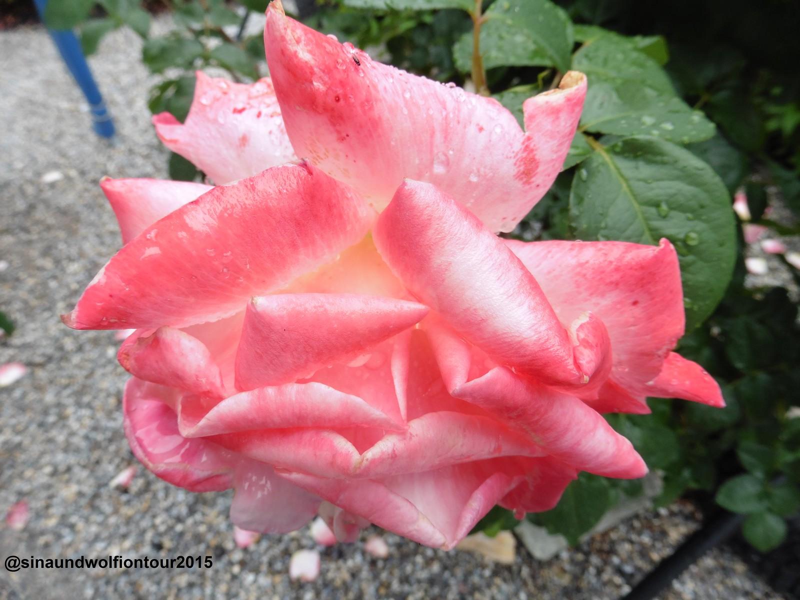Rose, Wachau