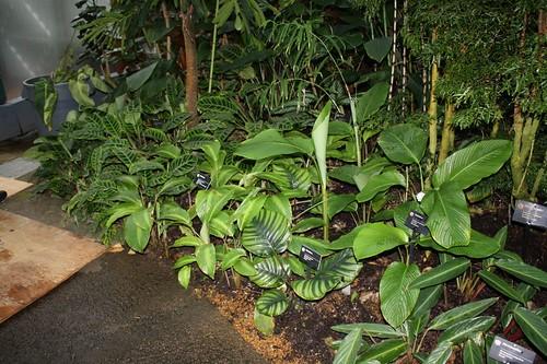 marantaceaes