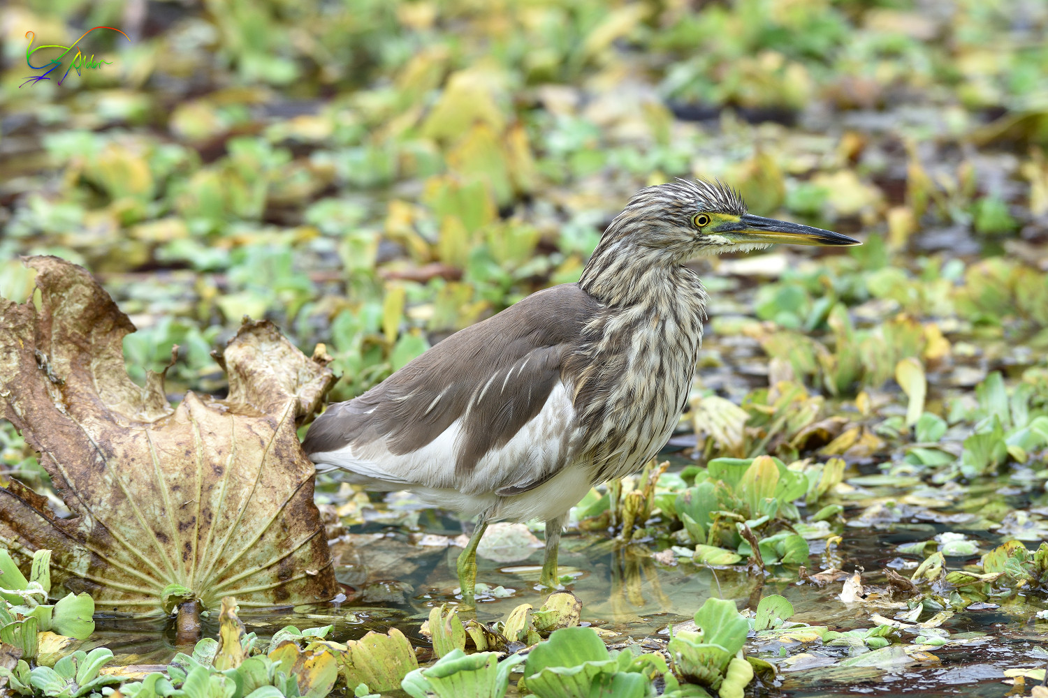 Chinese_Pond_Heron_3445