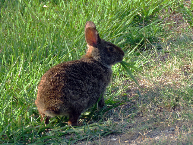 Marsh Rabbit (Sylvilagus palustris)