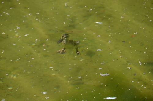 Underwater duck
