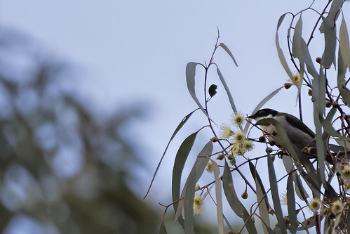 White-naped Honeyeater 2015-06-14 (_MG_3528)