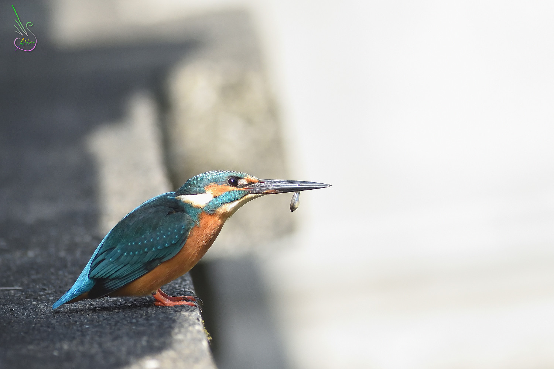 Common_Kingfisher_8432