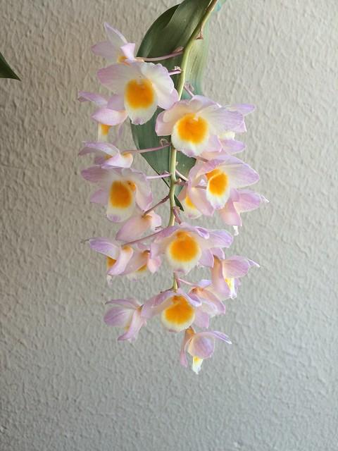 Dendrobium farmeri 18590012209_f9e493507c_z