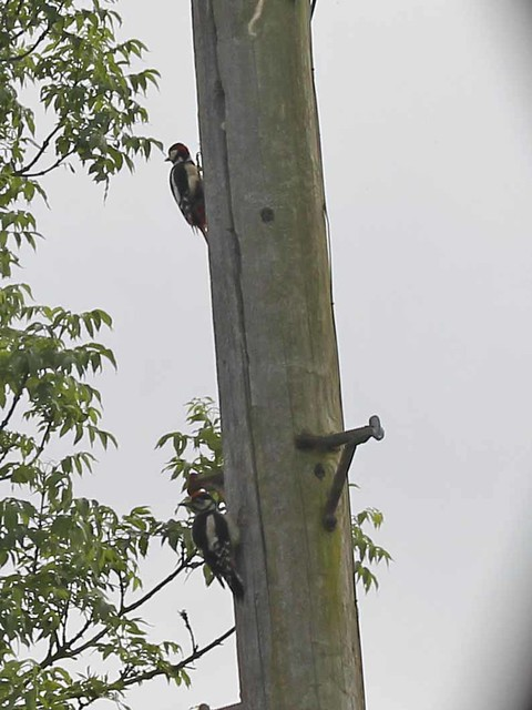 Woodpeckers!