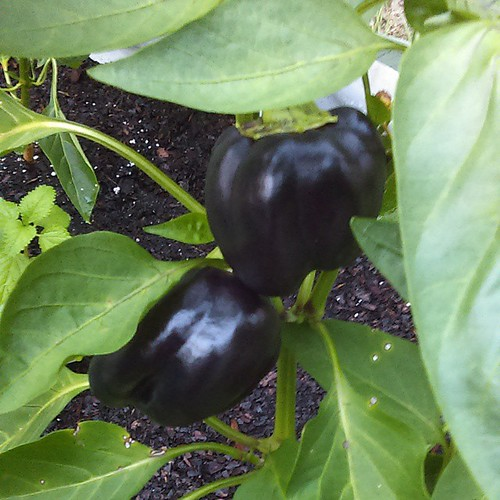 Black bell peppers at SUGA. #occugardens