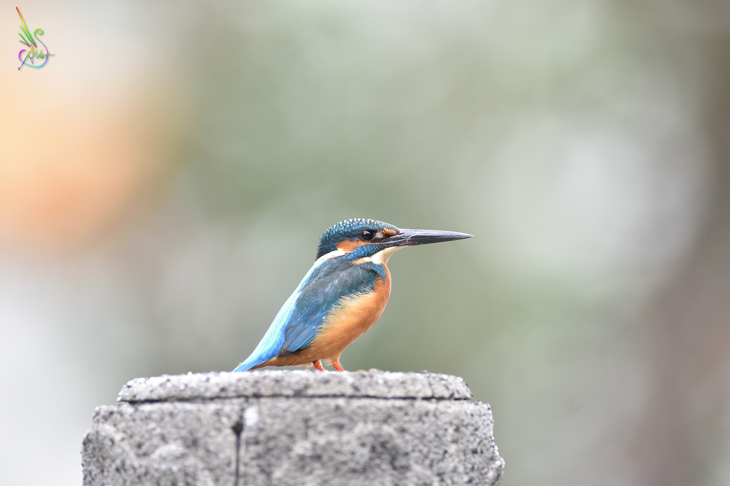 Common_Kingfisher_7659