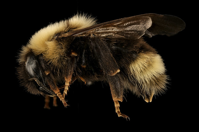 Environmental Action Impact: Rusty Patcher Bumblebees