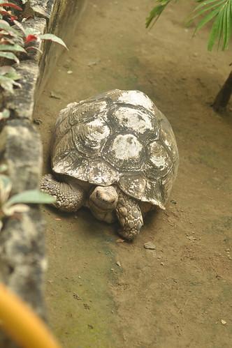 Tortoise (Avilon Zoo)