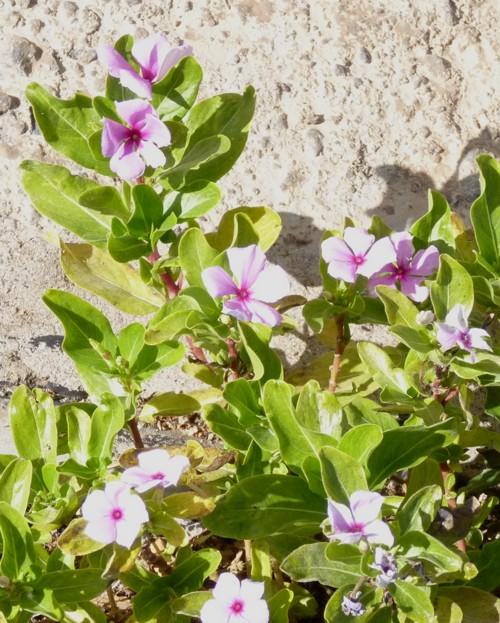 Catharanthus roseus 18426065859_d69e142cfe_o