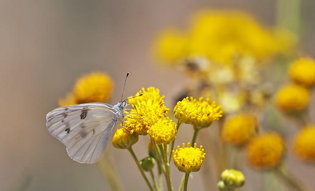 Butterfly 20d_1955