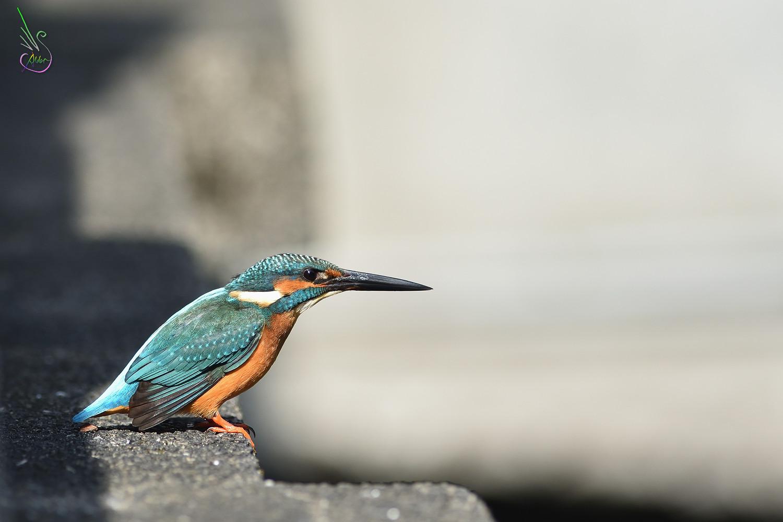 Common_Kingfisher_8389
