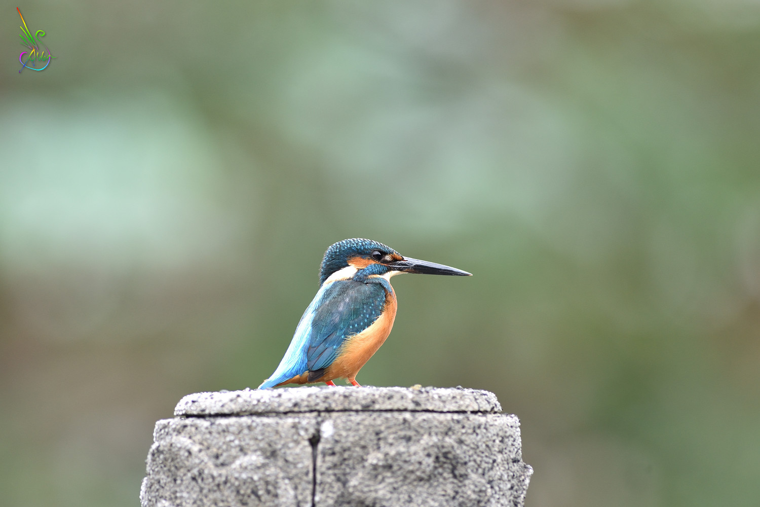 Common_Kingfisher_7628