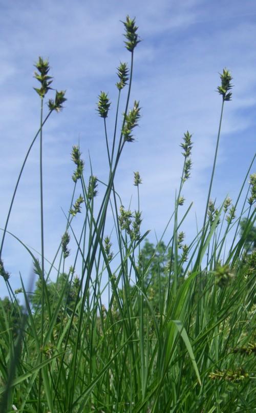 Carex spicata 18490222986_195121f094_o