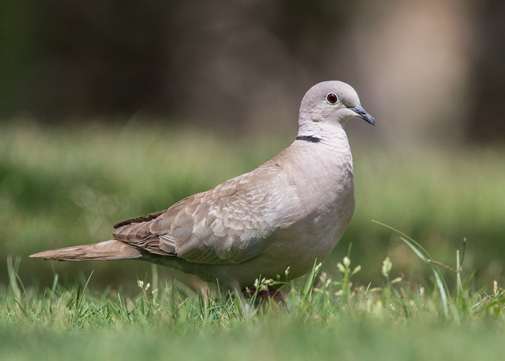 Collared Dove   Morocco