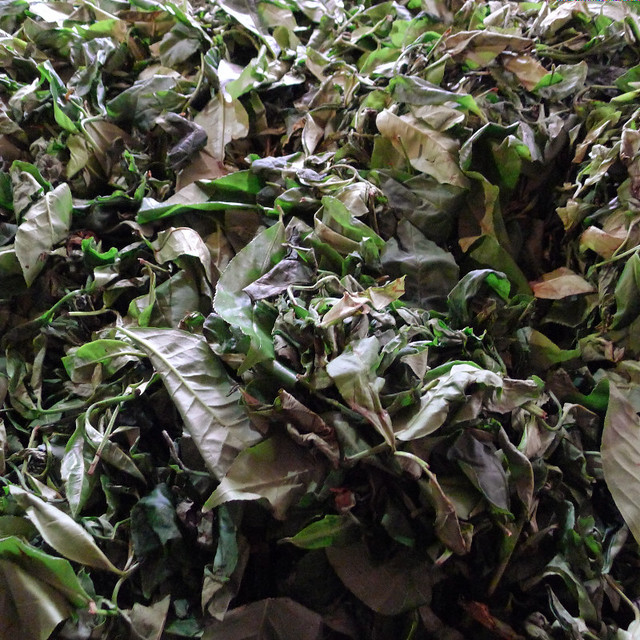 162-tea-plantation