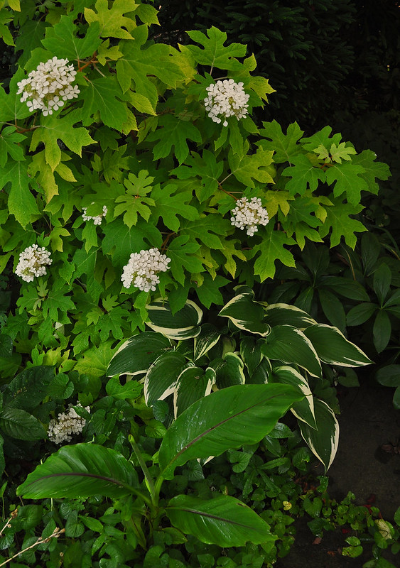 Hydrangea quercifolia 'Little Honey', Musa basjoo, and Hosta