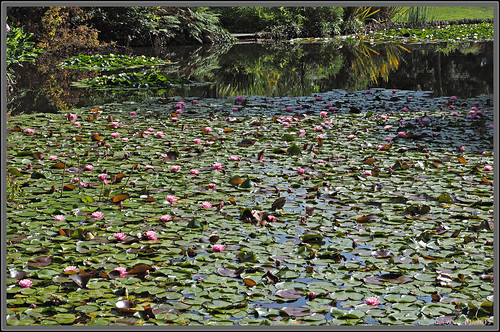Water lily pond in the royal botanic gardens melbourne for Garden pond melbourne
