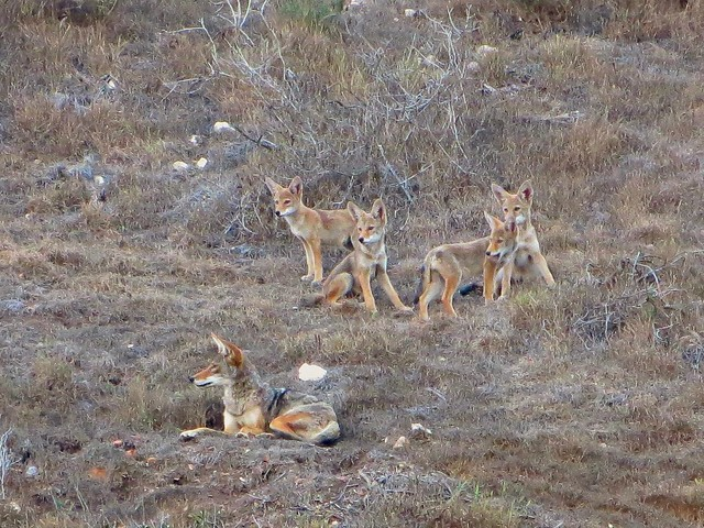 coyote family on the hillside