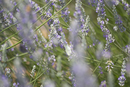 Woodinville Lavendar Fields | by TerriJane01