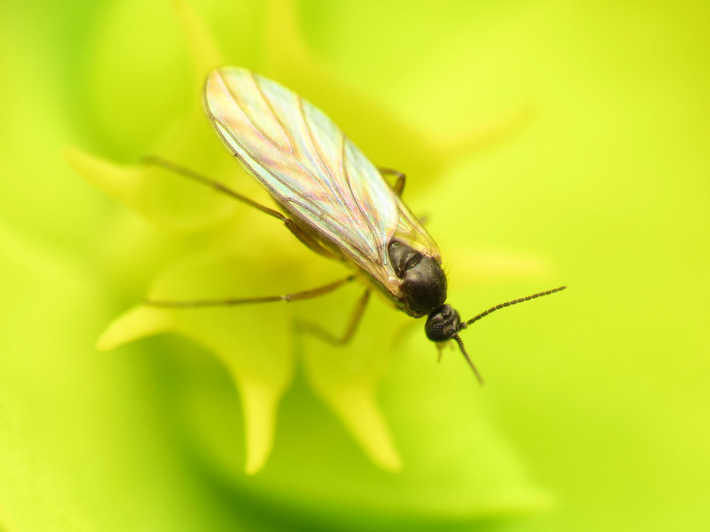 how to control and get rid of fungus gnats solutions pest lawn. Black Bedroom Furniture Sets. Home Design Ideas