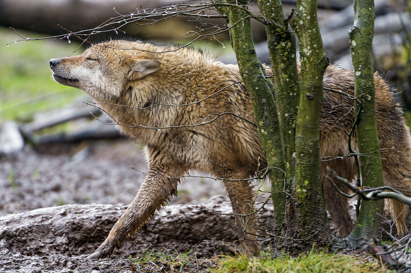 Wolf under the rain feeling good